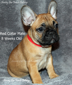 available red collar male